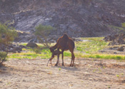 Saudia Arabia  Wadi-Mur with new born Camel
